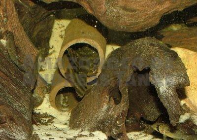 Panaqolus tankei (L 398) im heimischen Aquarium