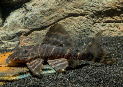 Panaqolus sp. (L 460)