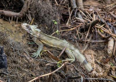 Grüner Leguan, Iguana iguana iguana (Linneaus, 1785)