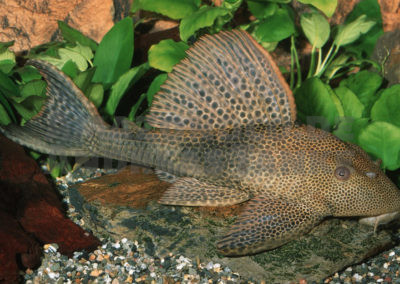 Cochliodon sp. (L 145) (Foto: Ingo Seidel)
