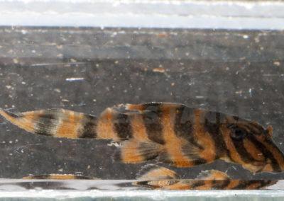 Juveniler Panaqolus claustellifer L 306