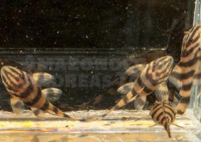 Juvenile Panaqolus claustellifer L 306